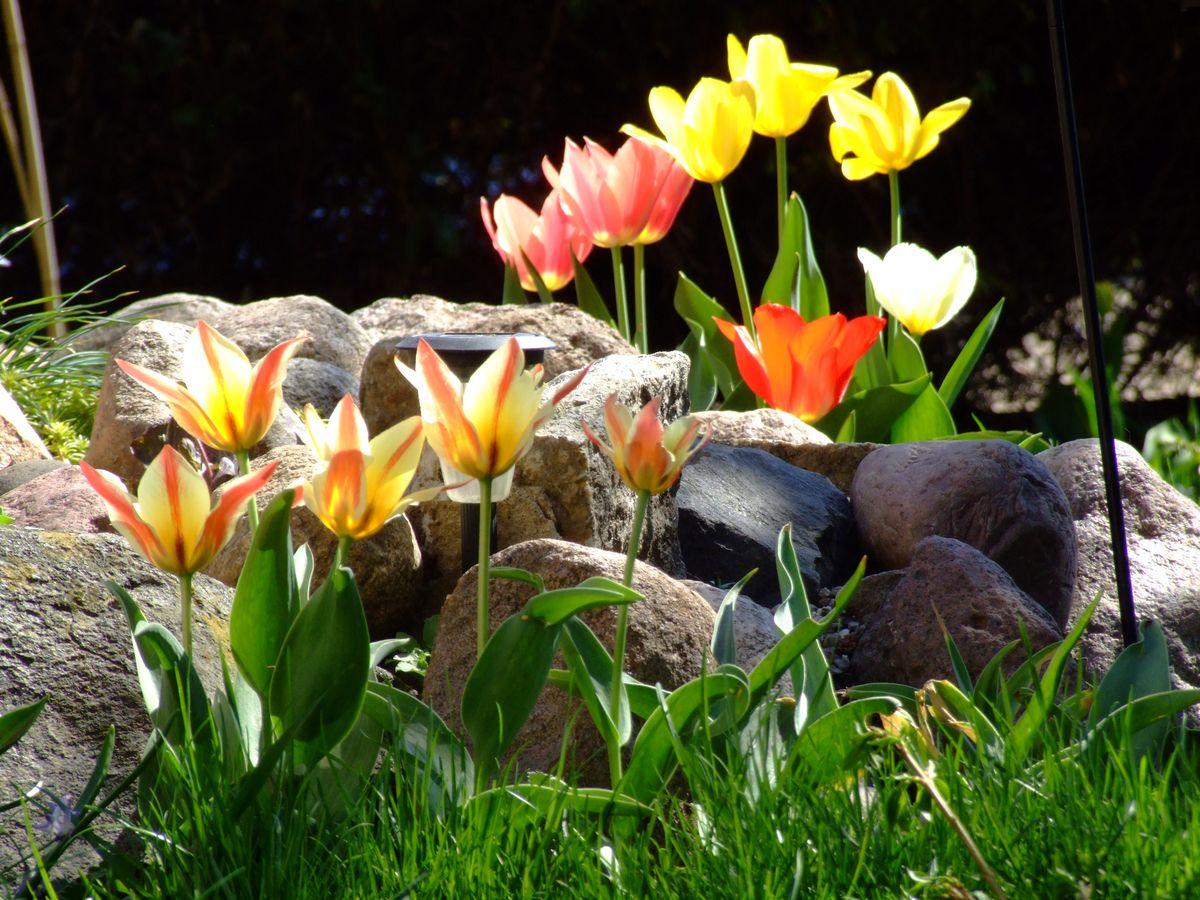 Pierwsze tulipany już wzeszły