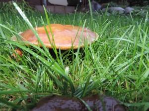 grzyby-ogrod-004