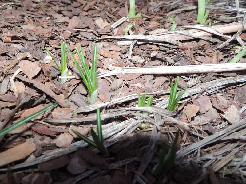 Tulipany w ogrodzie czują wiosnę