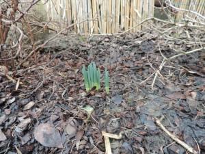 Tu i tam w ogrodzie pojawia się forpoczta wiosny