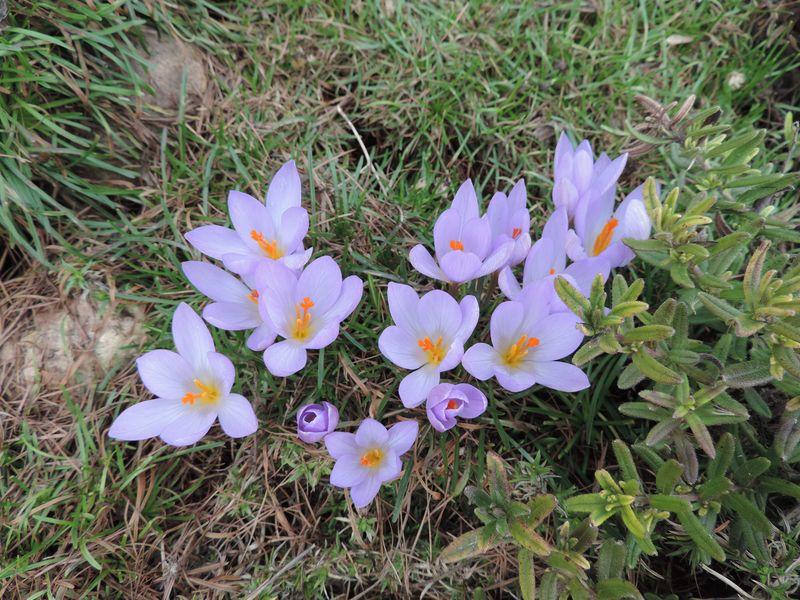 Krokusy to jedne z pierwszych kwiatów wiosną w ogrodzie