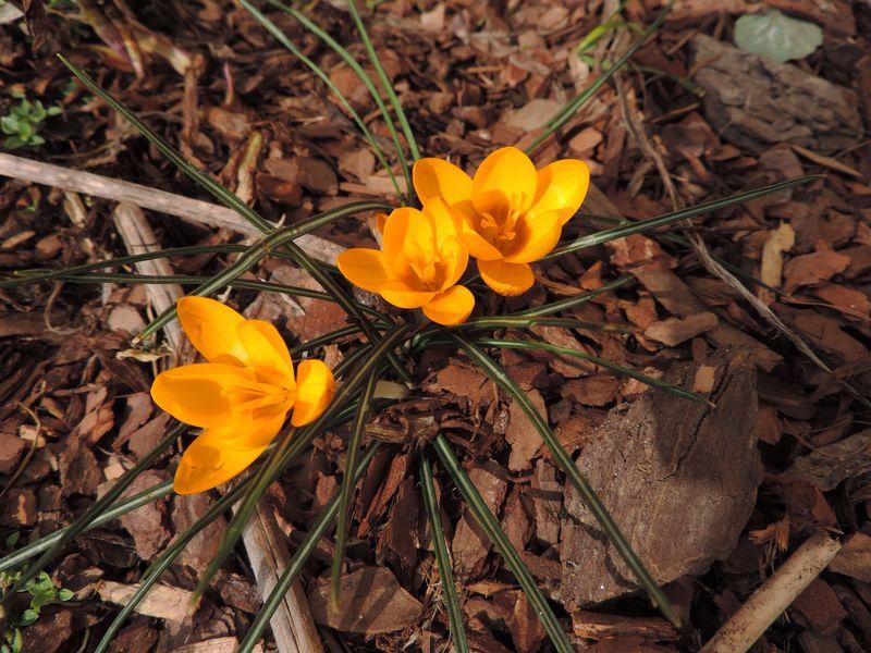 Kwitnące żonkile ożywiają jeszcze szare rabaty
