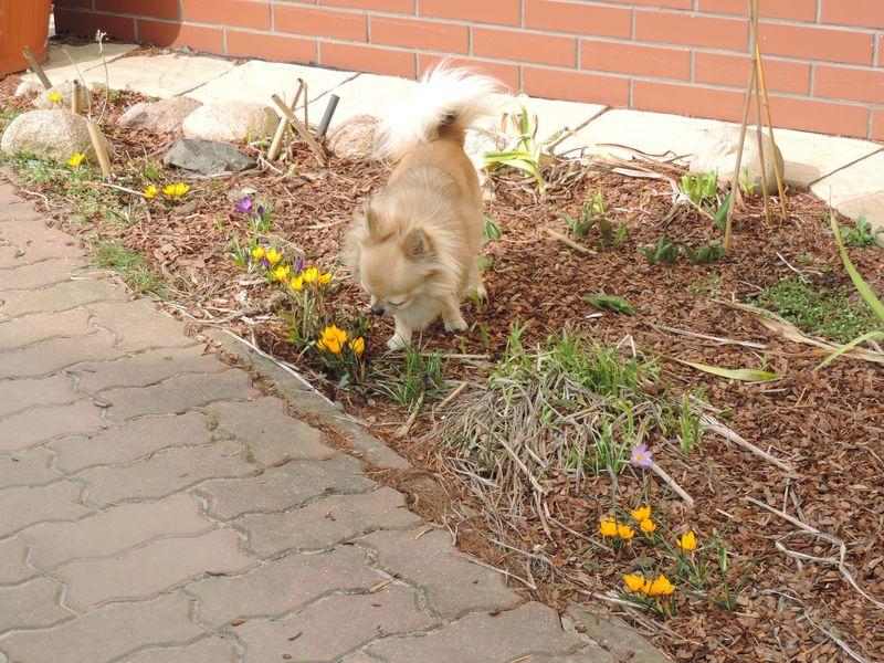 Dyzio wącha wiosenne kwiatki