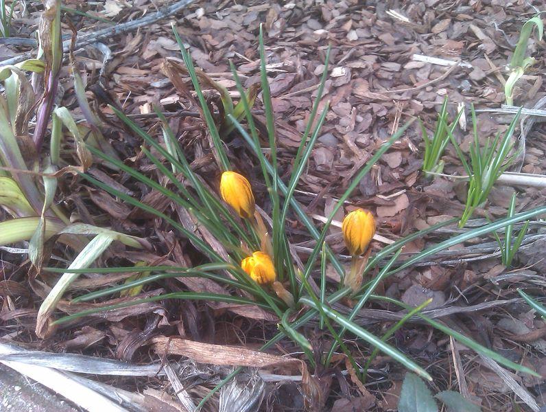 Pierwsze żonkile w ogrodzie już kwitną