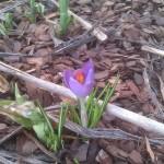 Pierwszy krokus w ogrodzie