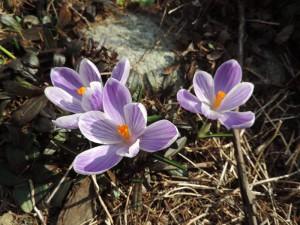 Wiosenne krokusy w ogrodzie