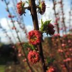 Małe różyczki Migdałka