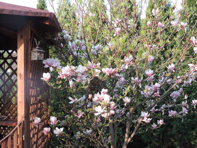 Magnolia jeszcze kwitnie