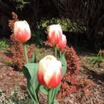Te tulipany w narodowych kolorach