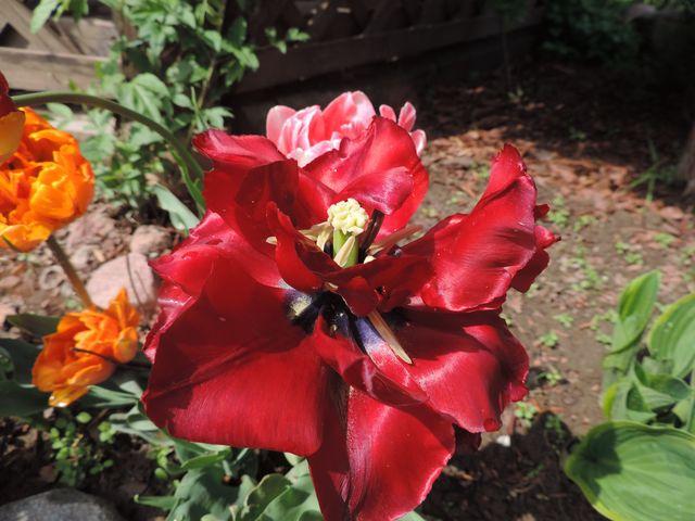 To także tulipan