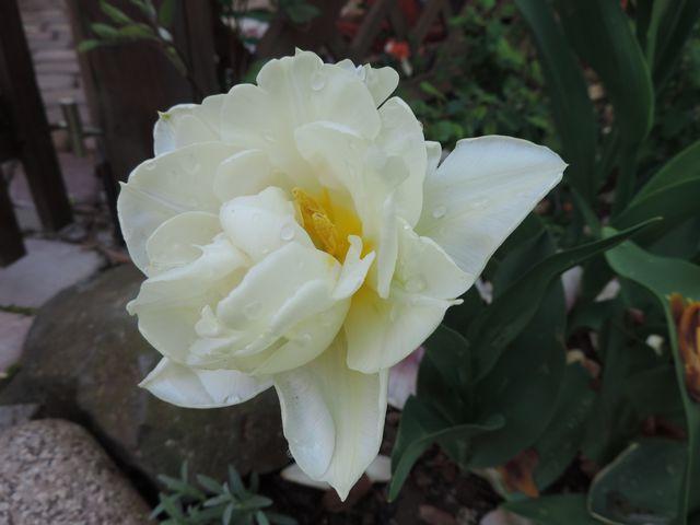 Biały tulipan