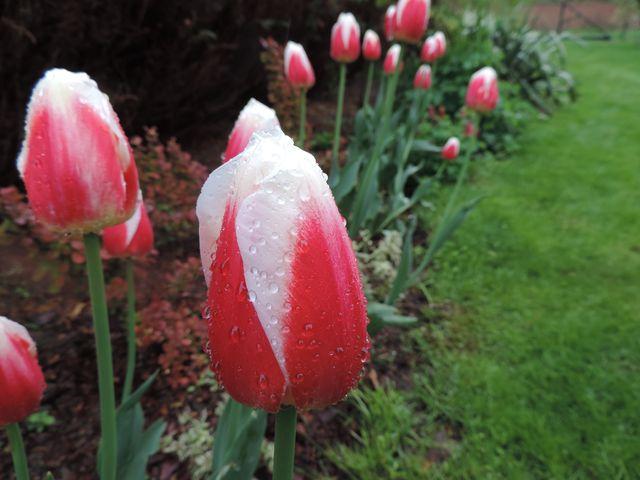 Narodowy akcent -  biało czerwone tulipany