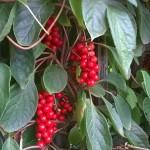 Cytryniec chiński - jagody życia