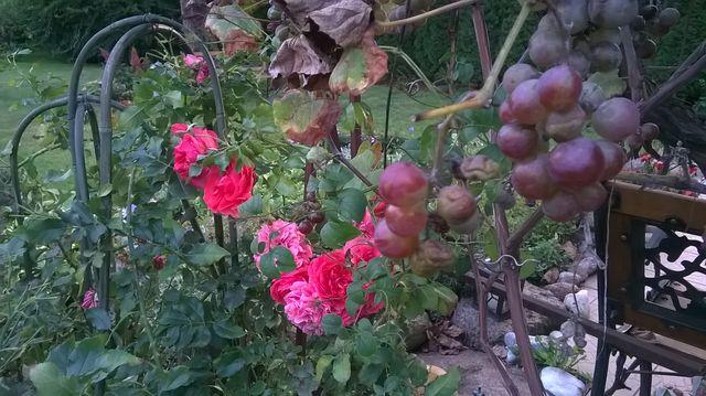 Róże jeszcze kwitną, a winogrona już dojrzały