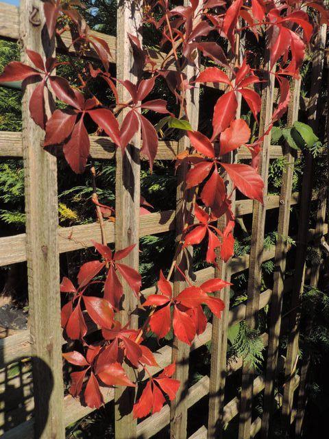 Robi się czerwono w ogrodzie