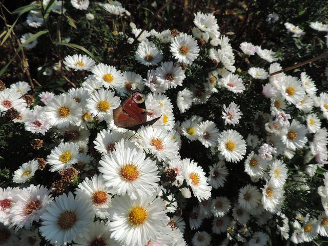 Ostatnie motyle posilają się na marcinkach