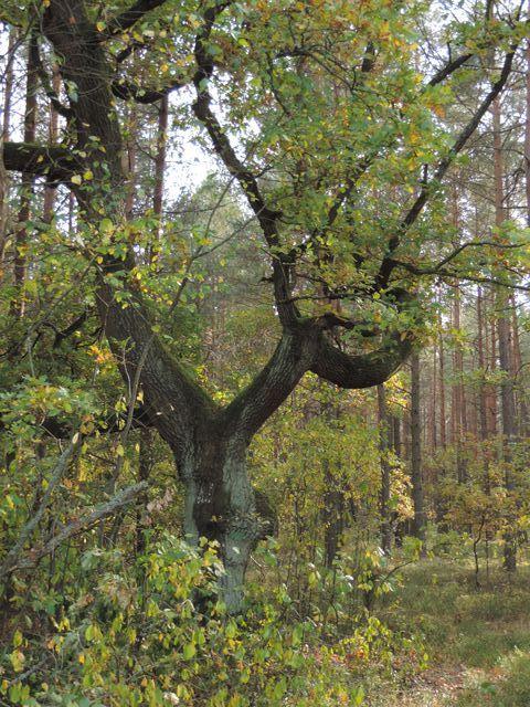 Obok takiego drzewa nie można przejść obojętnie
