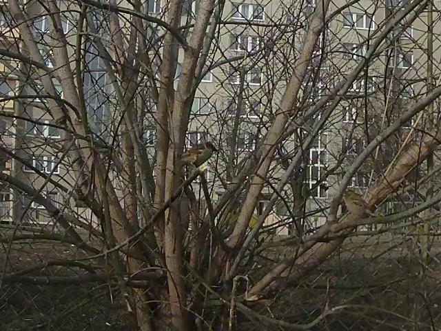 Parka wróbli wyraźnie czuje pierwszy powiew wiosny