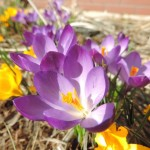 Kwitnące krokusy
