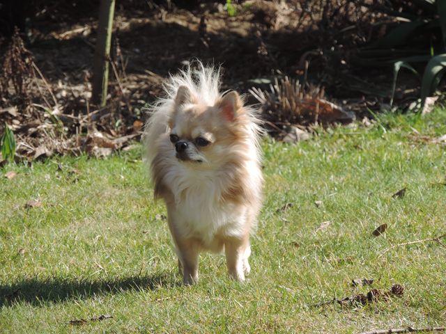 Alfa samiec Chihuahua Dyzio