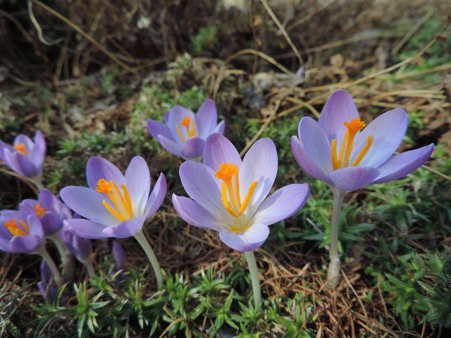 Kwitnące krokusy w ogrodzie - tak na początek dnia