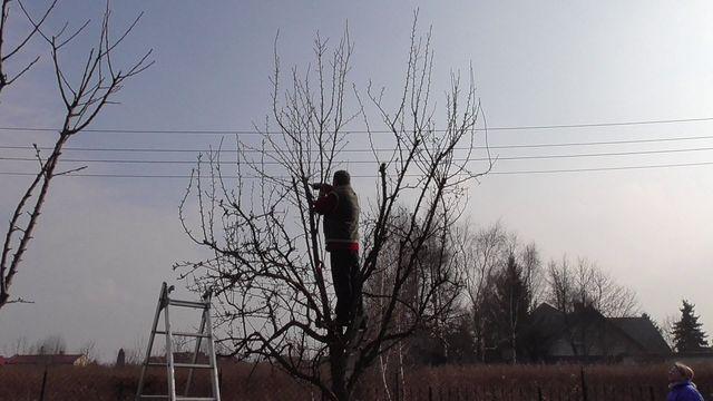 Wiosenne cięcie drzew