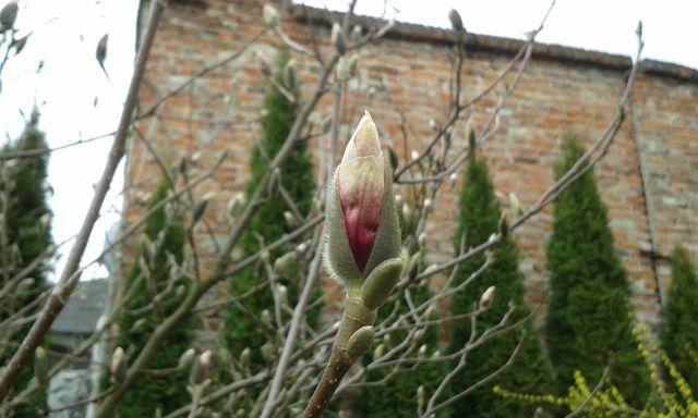 Niedługo zakwitną magnolie