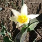 Tulipany pięknie kwitną