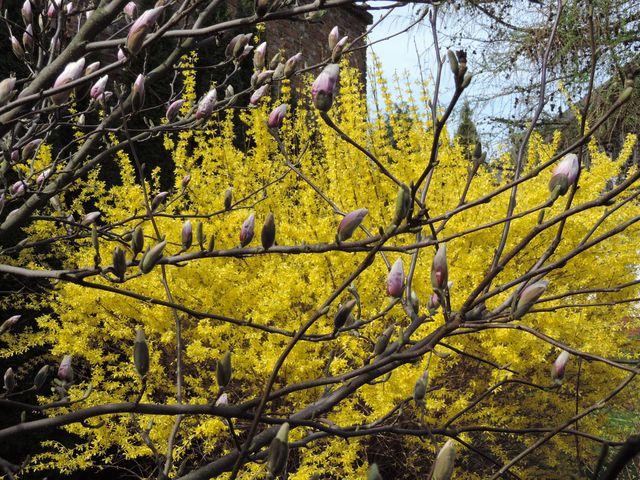 Kwitną magnolie i forsycje