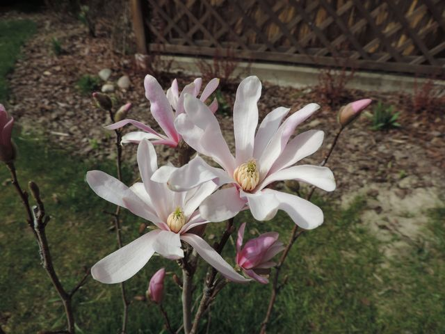 Zakwitła magnolia