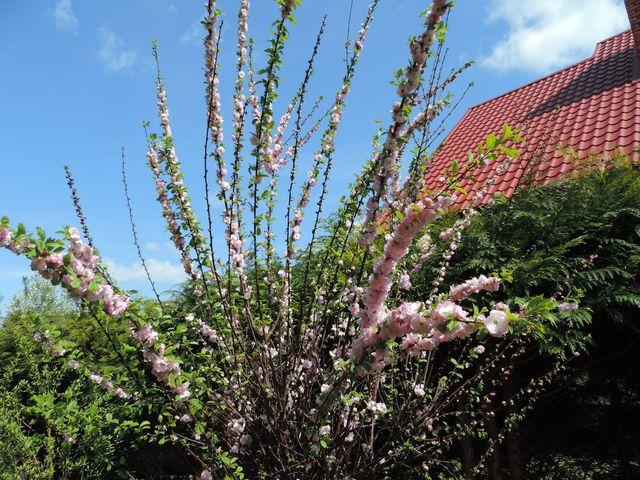 Kwitnie migdałek