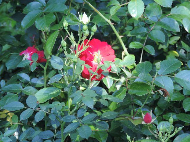 Róża w czerwcowym ogrodzie