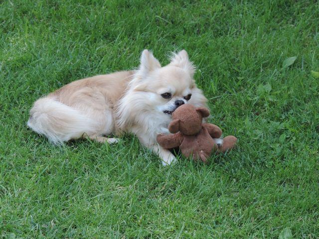Pies ogrodnika i jego miś