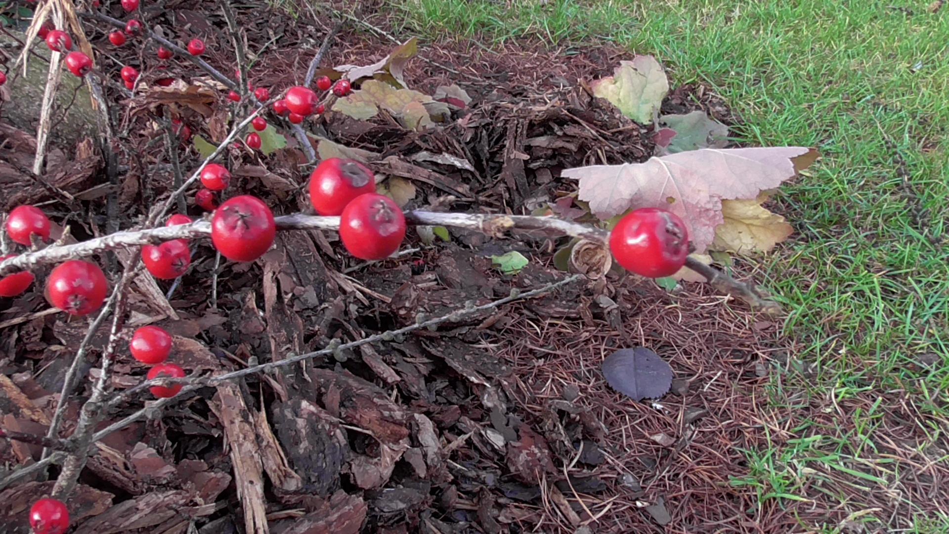 Czerwienie w ogrodzie