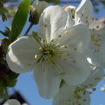Zakwitła wiśnia