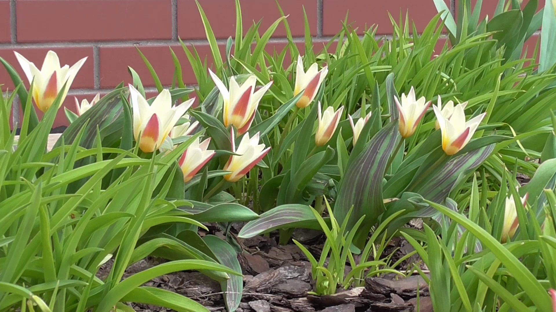 Zakwitły tulipany i hiacynty
