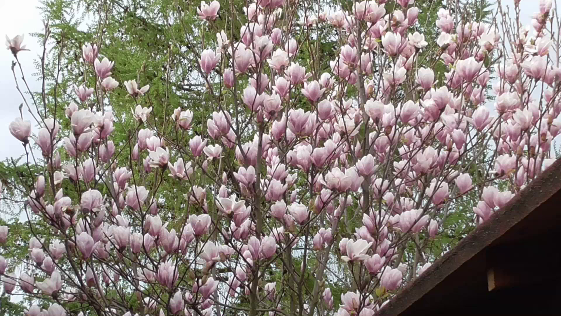 Zakwitły magnolie