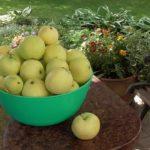 Zbiór jabłek