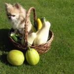 Dyzio The Chihuahua