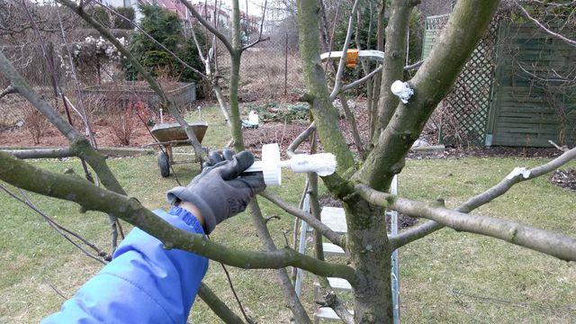 Po przycięciu zabezpieczamy miejsce cięcia maścią ogrodniczą.