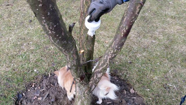 Podwójne zabezpieczenie drzewa po cięciu. Dyzio dołożył swoje.
