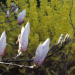 Magnolie i forsycje