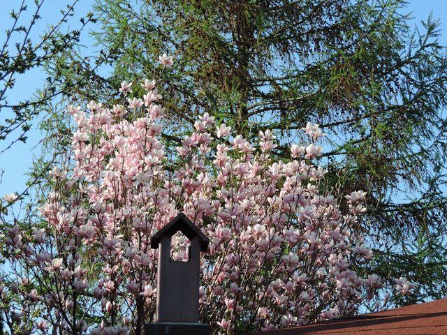 Kwitnąca magnolia