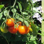 Swoje pomidory w ogrodzie