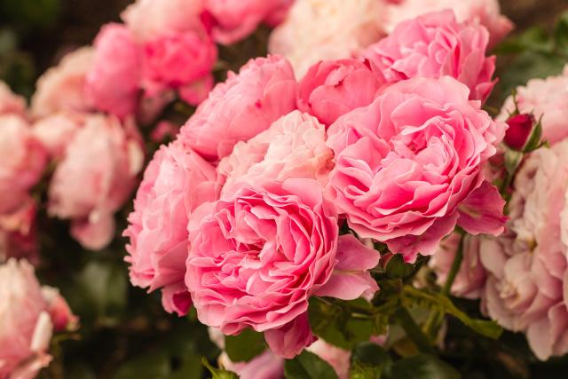 Róża Ziemowit: 7 najpiękniejszych odmian róż, które warto mieć w swoim ogrodzie