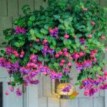 Dark Eyes Fuchsia Michiels Cięcie roślin zimujących w domu