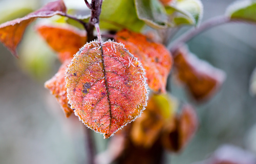 red leaves on a tree in icy cold