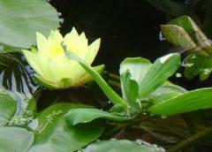 Oczko wodne – zakwitły lilie