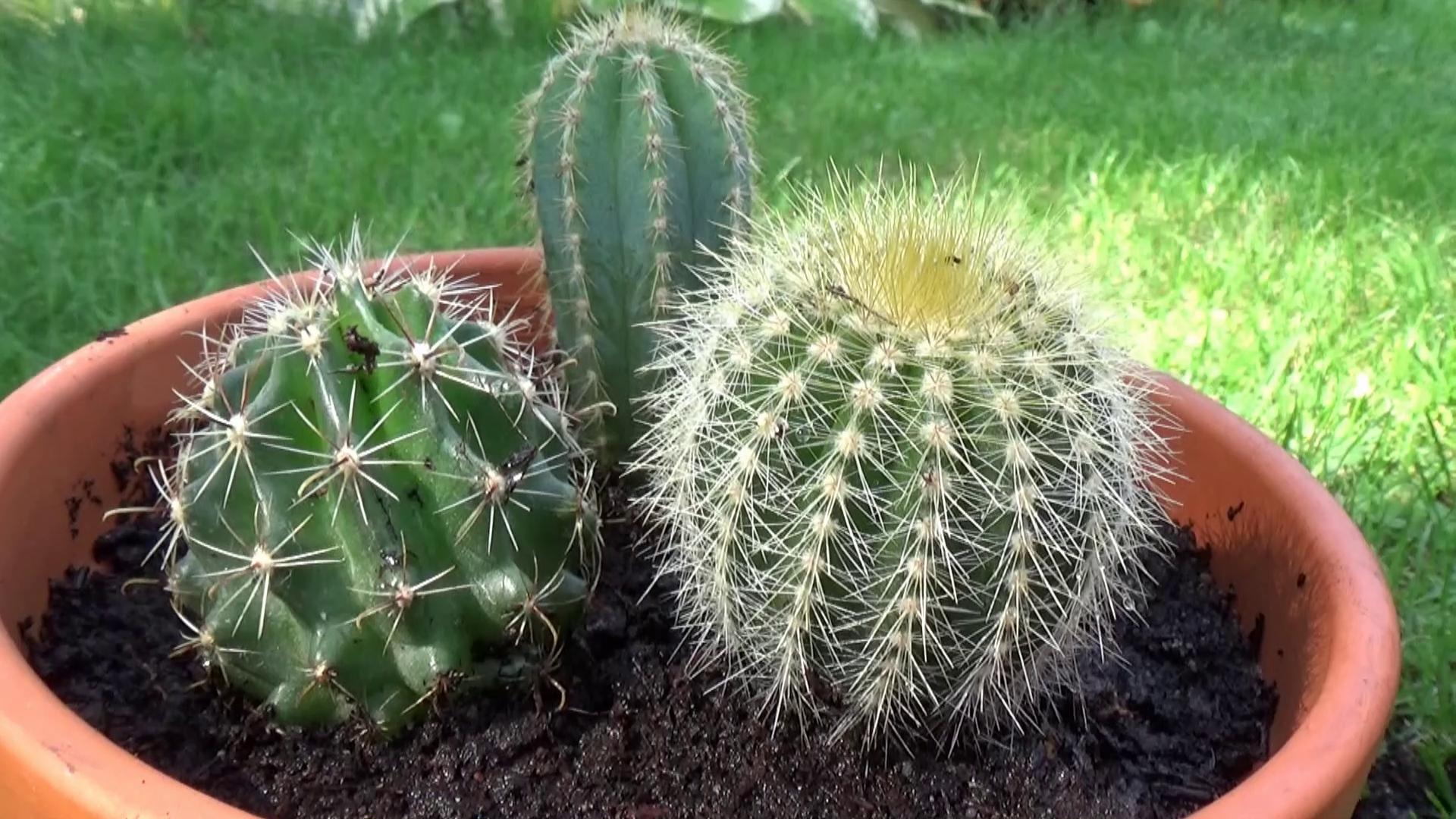 Doniczka Z Kaktusami Ogród W Mieście