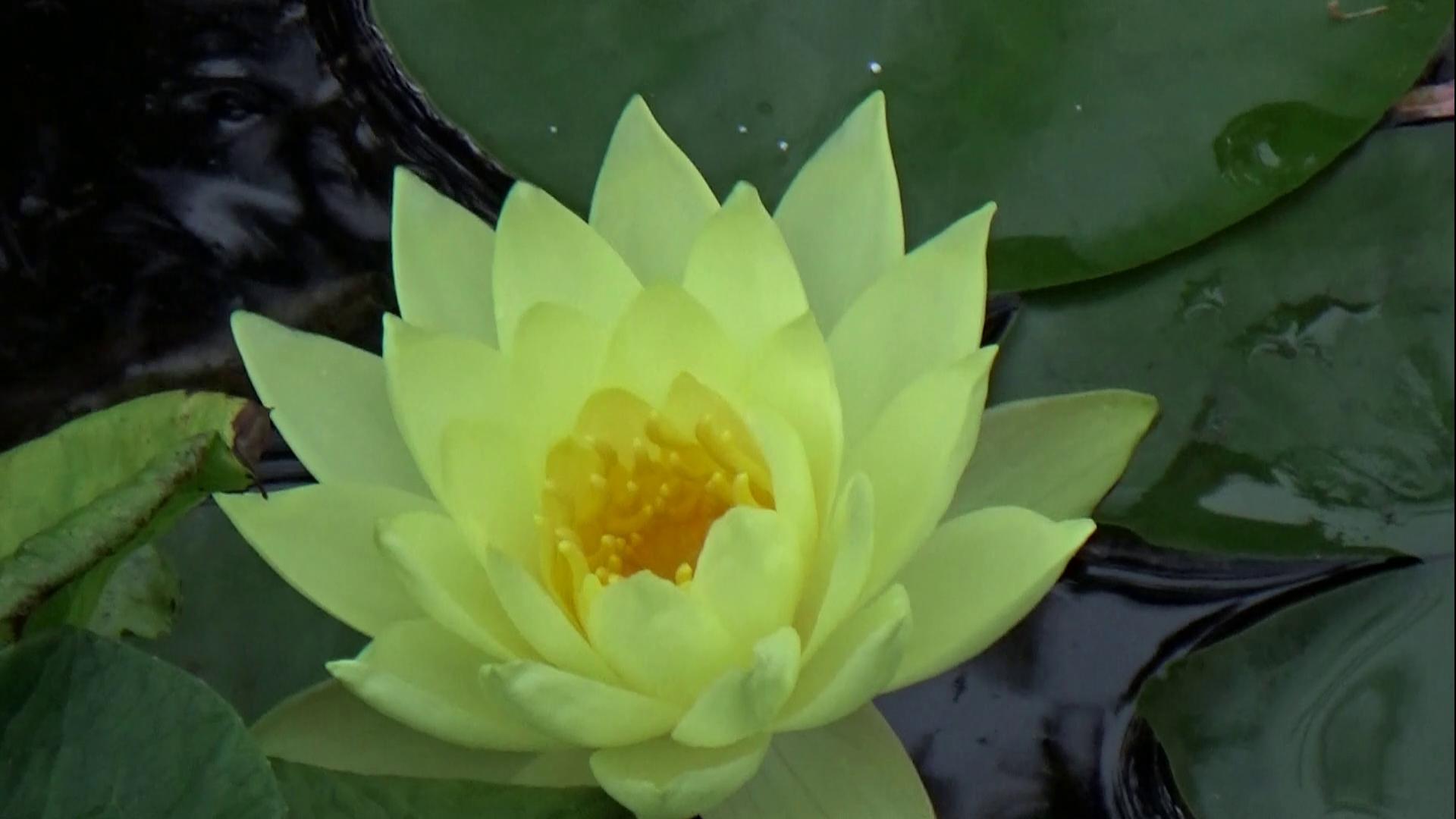 Lilie w oczku wodnym